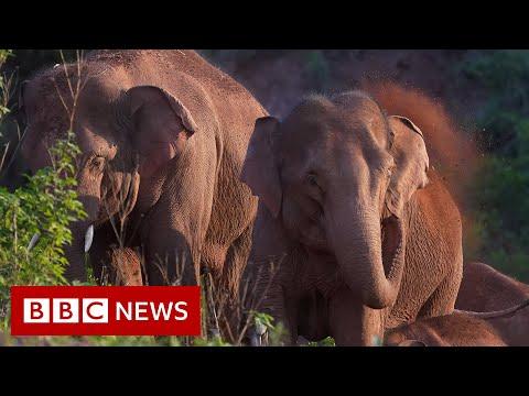 150,000 evacuated from path of trekking herd - BBC News