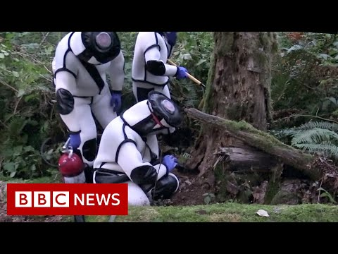 Nest of 1,500 'murder hornets' destroyed in the US – BBC News